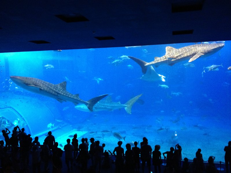 Whalesharks are the central attraction