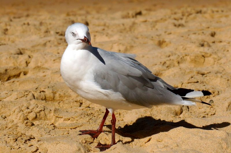 Seagull at Manly Beach