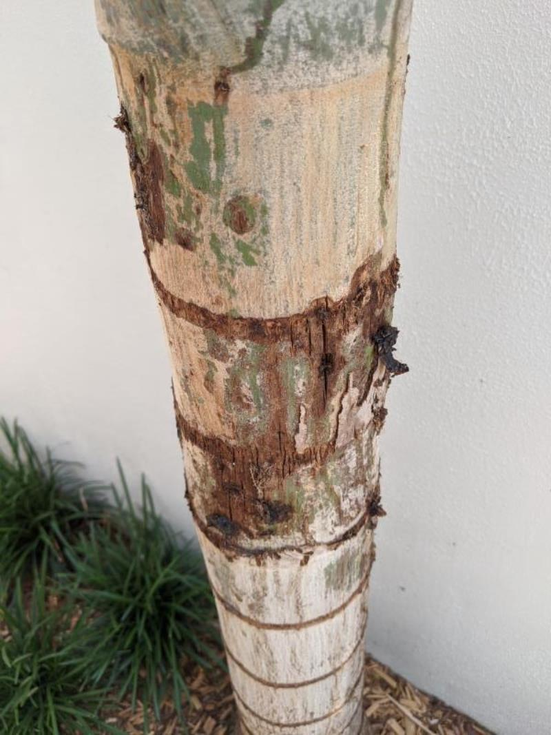 Foxtail Palm infested with Cane Beetle at Mermaid Waters