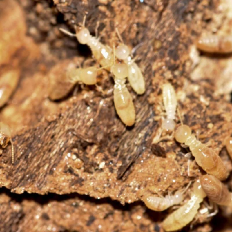 How bad can termite damage get? Tales from Taringa