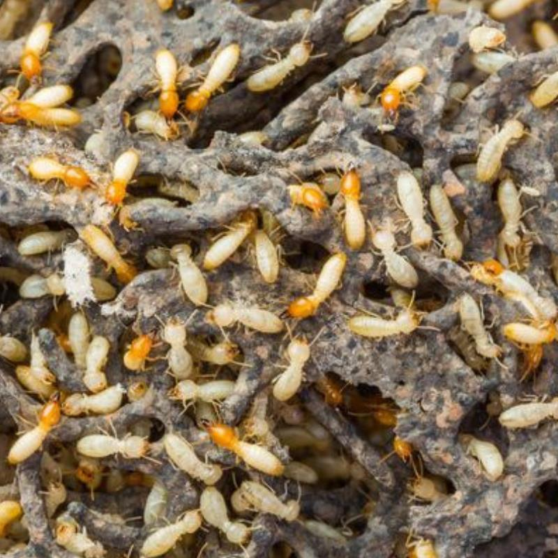 Humid weather: ideal conditions for termites