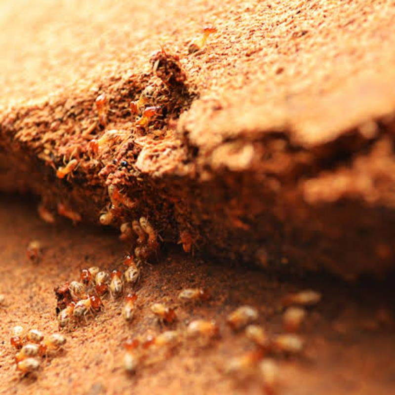 4 Tips To Protect Your Attic From Termite Infestation In Elanora