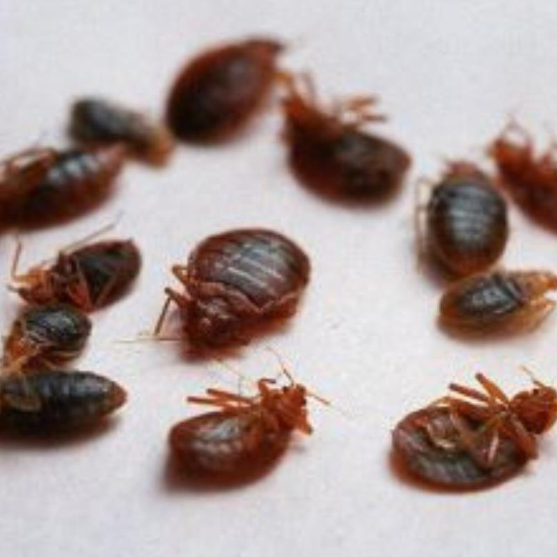 How to avoid bed bugs in Laceys Creek?