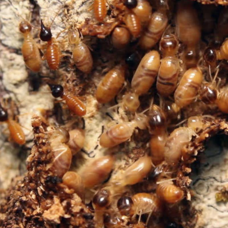 Termite myths debunked in Virginia