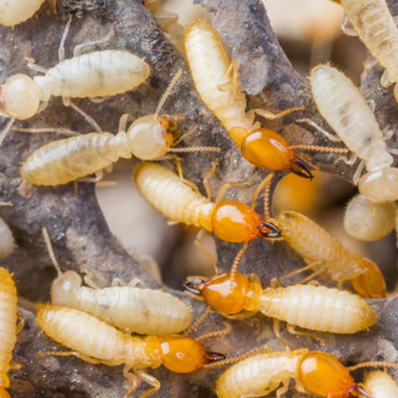 Homeowner's traditionally will do everything they can to clean up their homes to prevent any unwelcome entities, such as termites and pests. However, no matter how hard some owners may seem to try, family and visitors may unintentionally leave food scraps that would attract these pesky critters. What's more, any tiny crevice or holes are inviting accommodation for termites. Some situations are just out of control when it comes to creating a less conducive living condition for these pests. While a termite infestation may seem like a big threat to many of Gold Coast's homeowners, the good news is that it is preventable (as long as you take serious precautionary measures to counter them). So how do you prevent and safeguard your home against potential termite infestation on the Gold Coast? Here are 3 things you need to know:  Make use of Physical and Chemical Termite Barriers You can place a physical barrier under the slab of your home or building to restrict the entry points of these termites. These slabs come in wide, overlapped sheets that are sealed with adhesive and are laid in the same way as a moisture layer before the slab is poured.  On the other hand, Chemical barriers are better positioned to protect your home by penetrating your hidden holes and crevices with chemicals that will slowly but surely eradicate the pests through contamination.   Use Cellulose-Rich materials as Termite Baits  Another effective termite prevention is employing the use of baits composed of materials that are rich in cellulose. Fillings such as wood, cardboard, paper and other materials attract large amounts of termites. While these termites are slowly gnawing these pieces away, they are also chewing on lethal chemicals that will surely eliminate these foraging critters from entering or dwelling within your home.   Conduct a thorough Inspection and Preventive Treatment  This should be your first call to action the moment you suspect the first signs of termite infestation, more so...i
