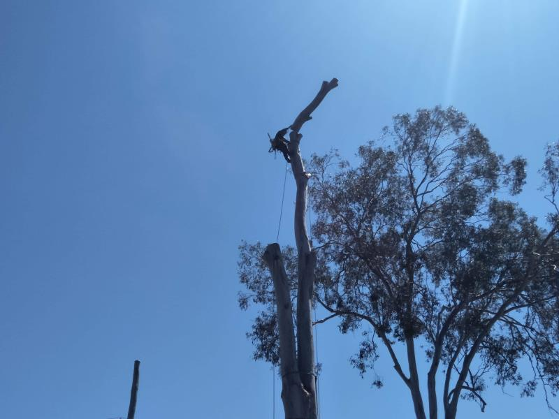Partial Forest Red Gum Removal at Helensvale