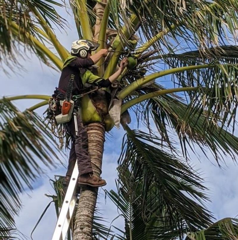 Palm Pruning and Treatment Kingscliff