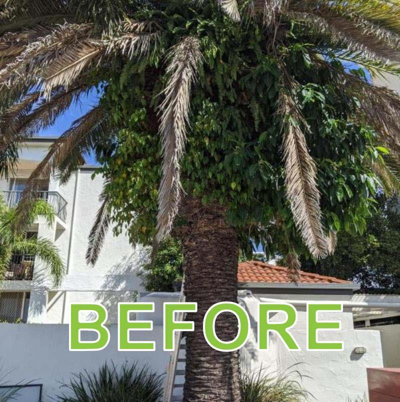 Phoenix Palm Pruning Southport
