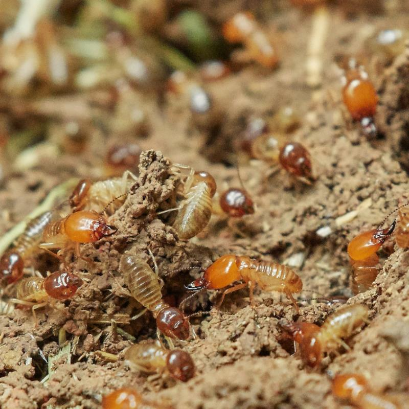 Termite Inspectors In Rothwell Can Help You Assess Any Termite Infestation