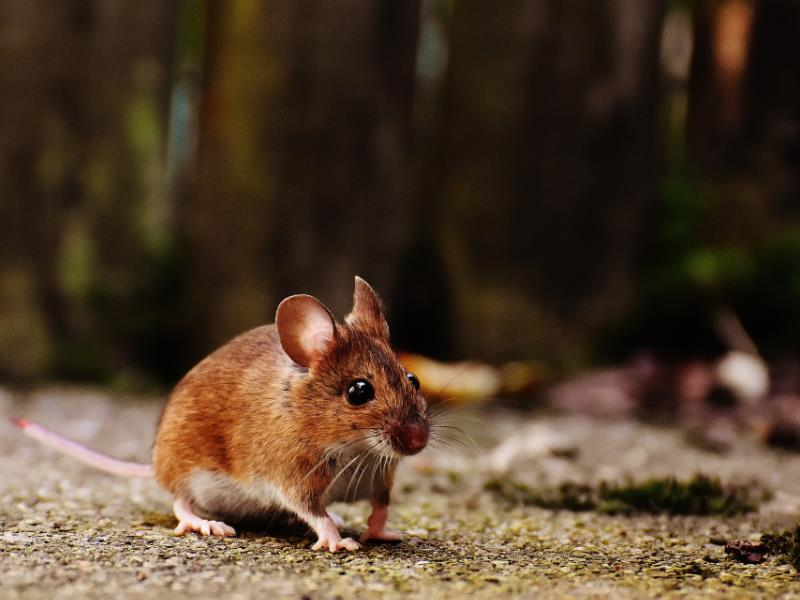 Are You Worried That Your House Has Become Home To Rodents?