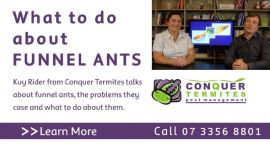 What to do about funnel ants? Kuy, Conquer Termites Northside