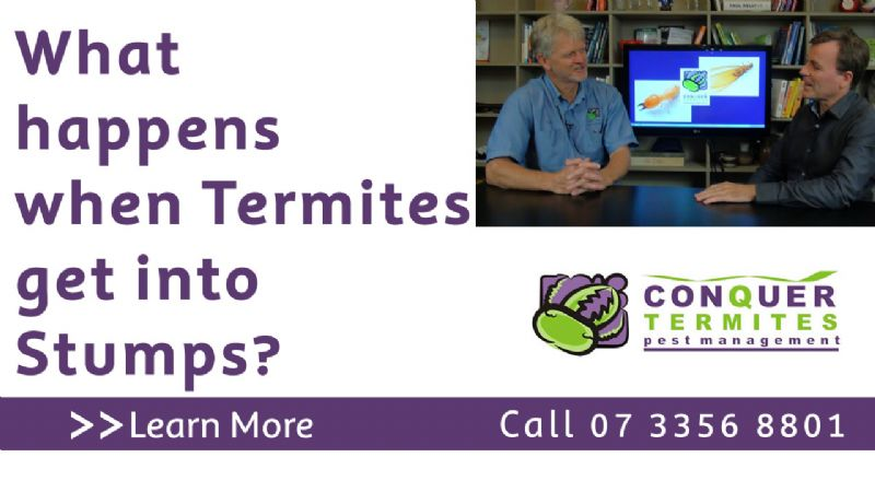 Termites in stumps. Alan Ferguson from Conquer Termites Northside