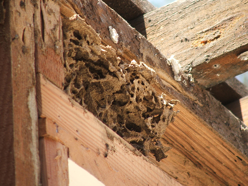 Termite infestation at Chermside
