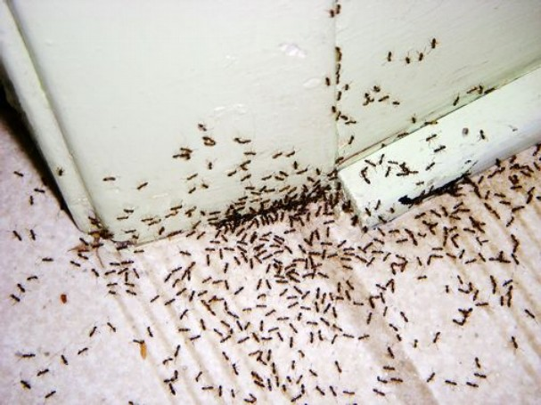 Ant infestation at Nundah