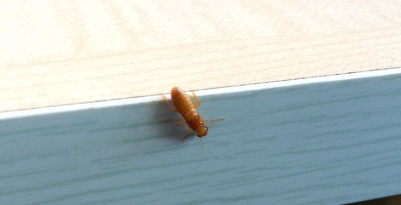 Winged Termite found in Newmarket, Brisbane Northside